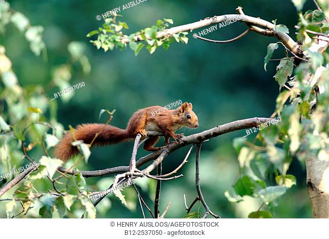 Red squirrel - Sciurus vulgaris - France