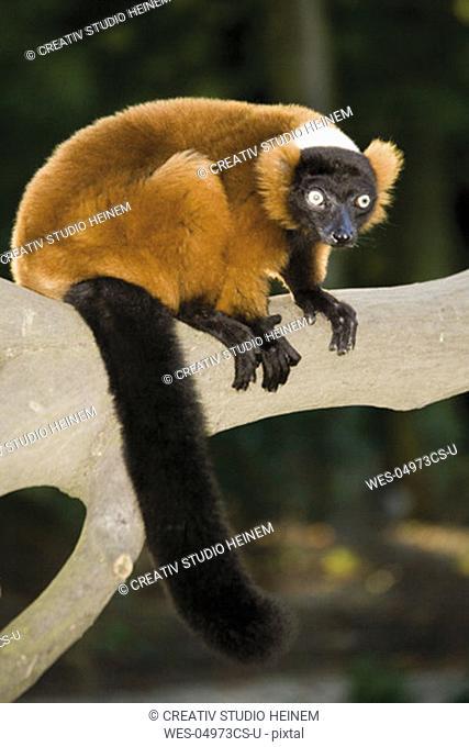 Germany, Gelsenkirchen, Zoom Erlebniswelt, Red ruffed lemur