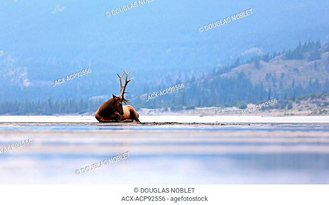 Male Elk lounging on shoreline on a lake in Jasper National Park, British Columbia, Canada