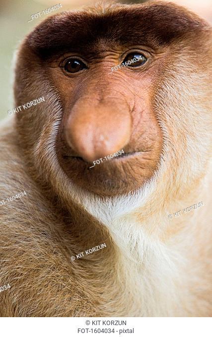Close-up portrait of proboscis monkey