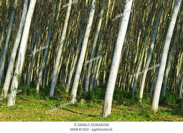 poplar grove, casacorba, italy