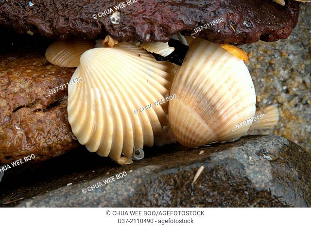 Shells. Pandan Beach, Lundu, Sarawak, Malaysia
