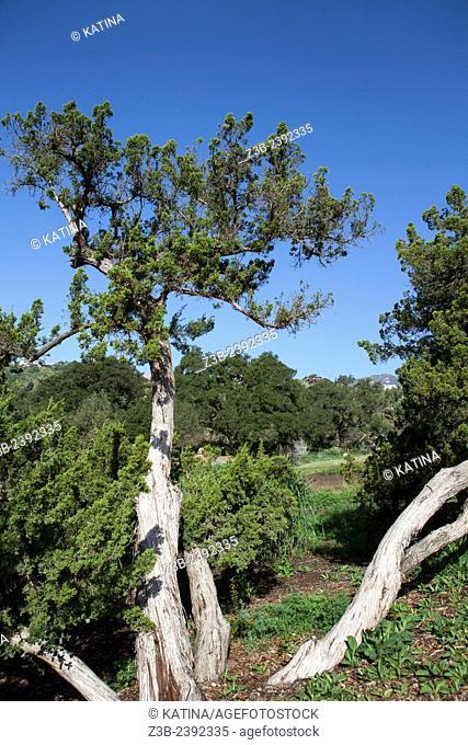 California juniper (Juniperus californica) in the Santa Barbara Botanic Garden; Santa Barbara; Santa Barbara County; California; CA; USA
