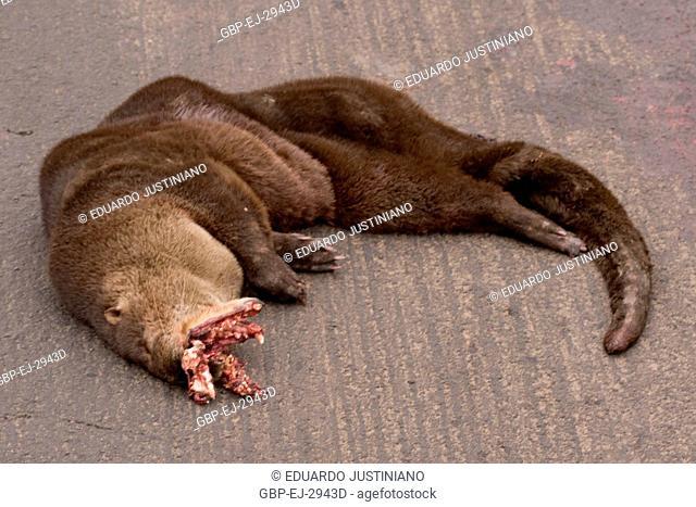 Hasty ferret in BR290, Rosário do Sul, Rio Grande do Sul, Brazil