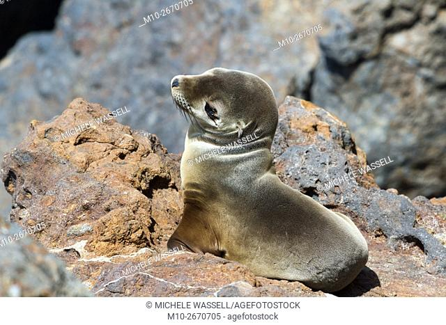 Sea Lion pup in the rocks waiting to be rescued due to it being malnourished. Malibu, California, USA