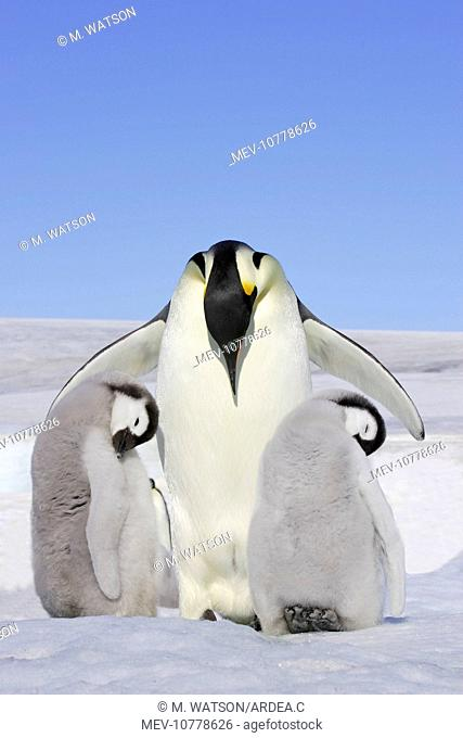 Emperor Penguin - adult and two chicks (Aptenodytes forsteri)