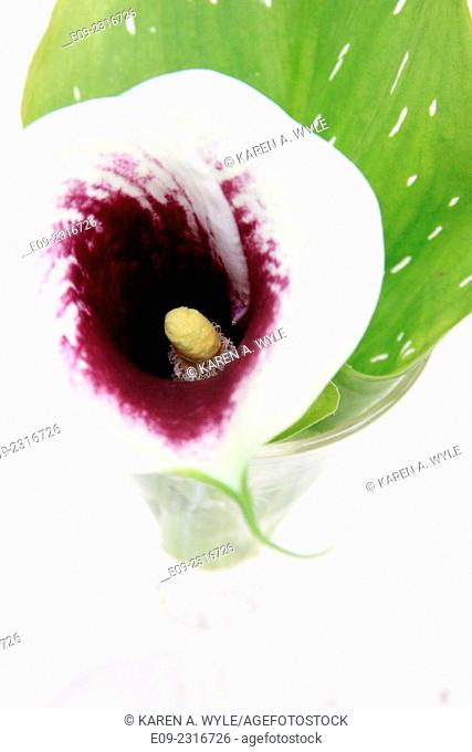 calla lily in glass vase, seen from above
