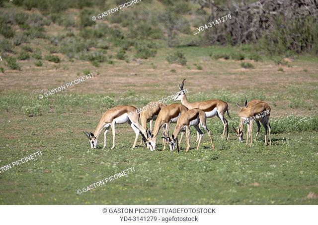 Springbok (Antidorcas marsupialis). Kgalagadi Transfrontier Park in rainy season, Kalahari Desert, South Africa/Botswana