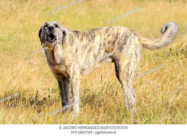 Mastiff dog.Olivenza.Badajoz province.Extremadura.Spain