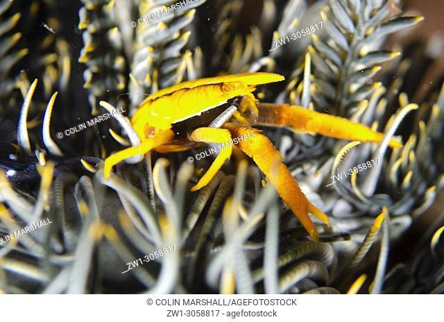 Baba's Crinoid Squat Lobster (Allogalathea babai, Galatheidae family) on Crinoid (Class Crinoidea), Night dive, Pyramids dive site, Amed, east Bali, Indonesia