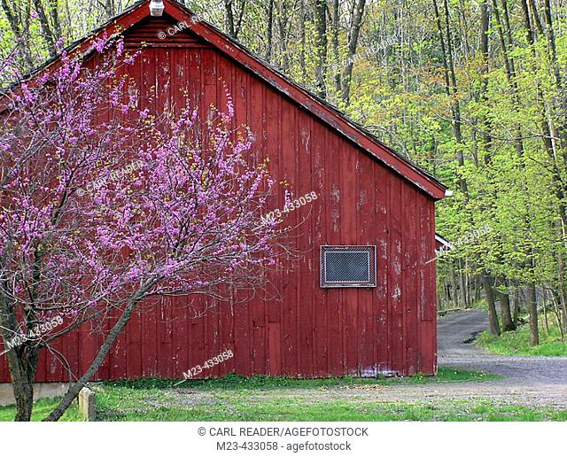 A rosebud tree blooms by a red barn
