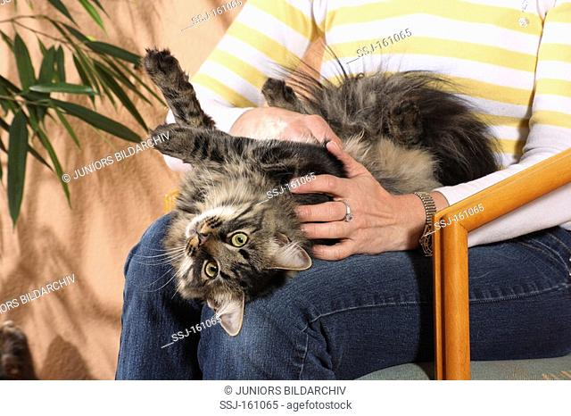 Siberian cat - lying on the lap of a woman