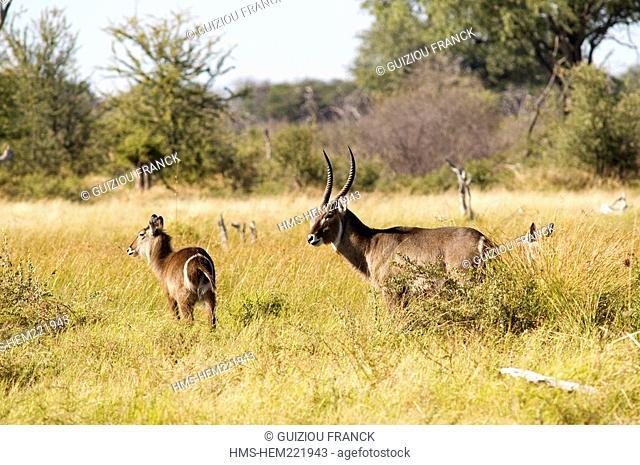 Botswana, North-west district, Chobe National Park, Savuti arid region, antelope Watterbook cob or a croissant