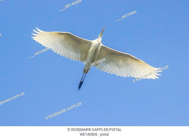 Germany, Saarland, Beeden, A gray heron in flight