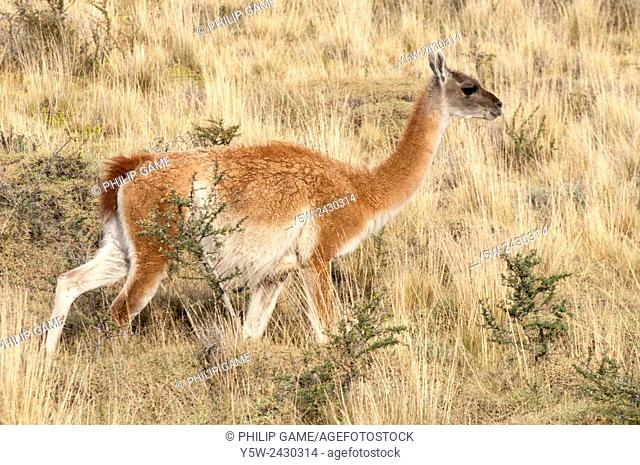 Guanacos grazing in Torres del Paine National Park, Patagonia, Chile