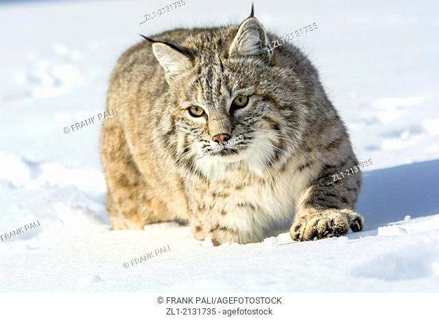 Bobcat (Lynx rufus) Captive young individual in late winter mountain habitat, Bozeman, Montana, USA