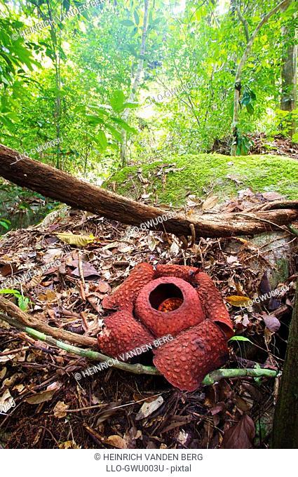 Rafflesia Rafflesia keithii  Gunung Gading National Park, Borneo, Malaysia