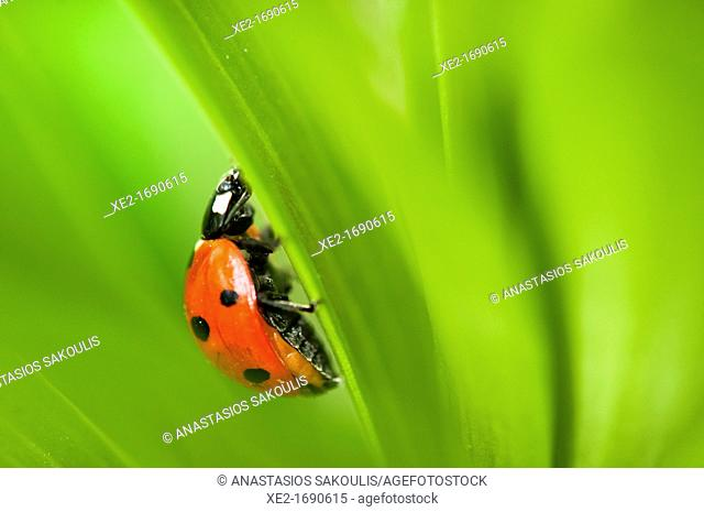 Coccinella septempunctata, the seven-spot ladybird or, in North America, seven-spotted ladybug or 'C-7', Crete