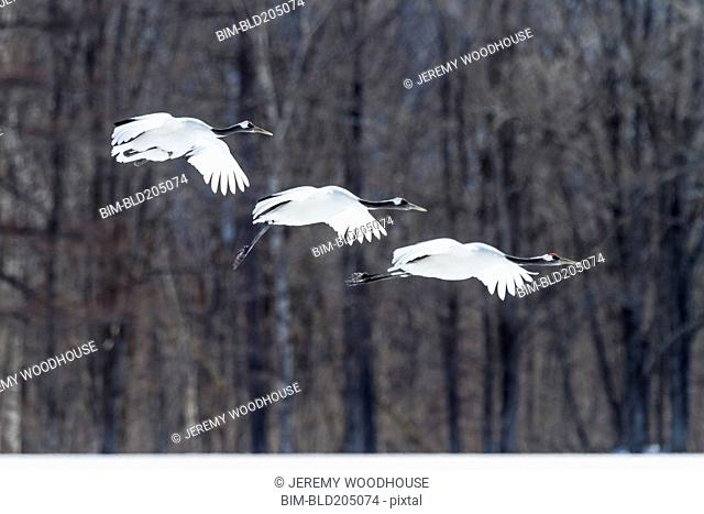 Red crowned crane flying in snowy landscape