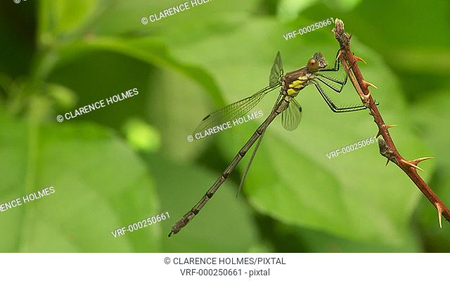 A young male Amber-winged Spreadwing (Lestes eurinus) damselfly perches on vegetation in spring