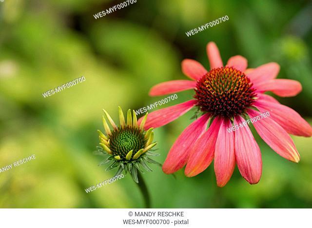 Pink coneflower, Echinacea