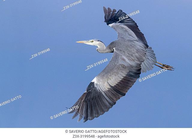 Grey Heron (Ardea cinerea), immature in flight showing upperwings
