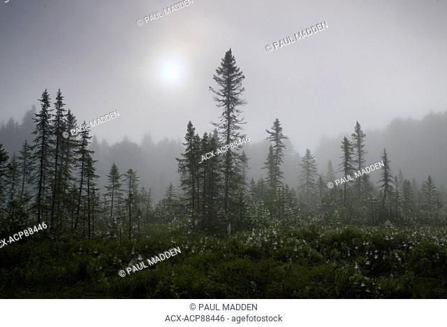 Black Spruce scene through the mist Algonquin Park, Ontario, Canada