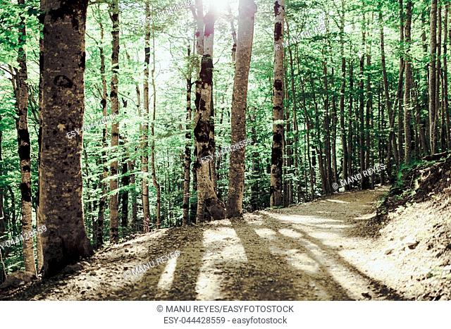 Path on a forest in the north of spain with trees in the shadow. PN Ordesa, Huesca, Spain