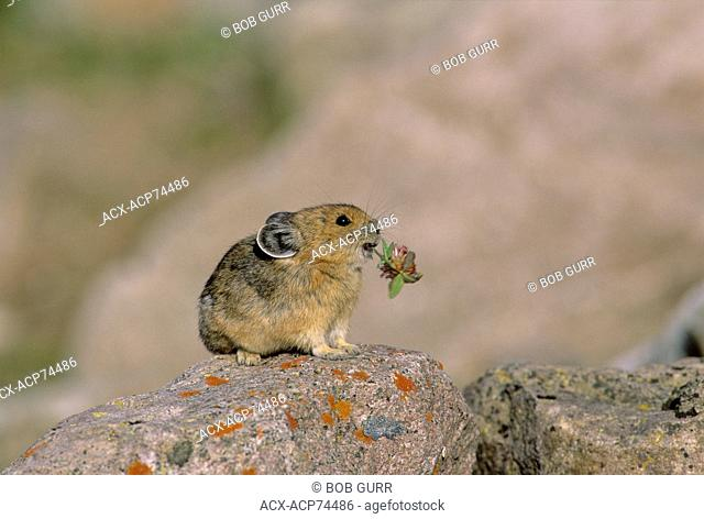 Pika (Ochotona princeps) Adult (Rock Rabbit, Whistling Hare) native to cold climates at higher elevations. Do not hibernate but collect & store dried vegetation...