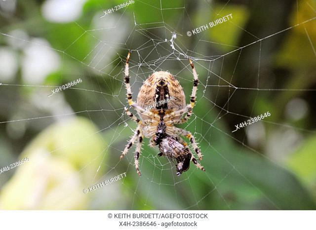 Araneus diadematus, Garden spider in its orb style web with insect prey wrapped in silk, Wales, UK