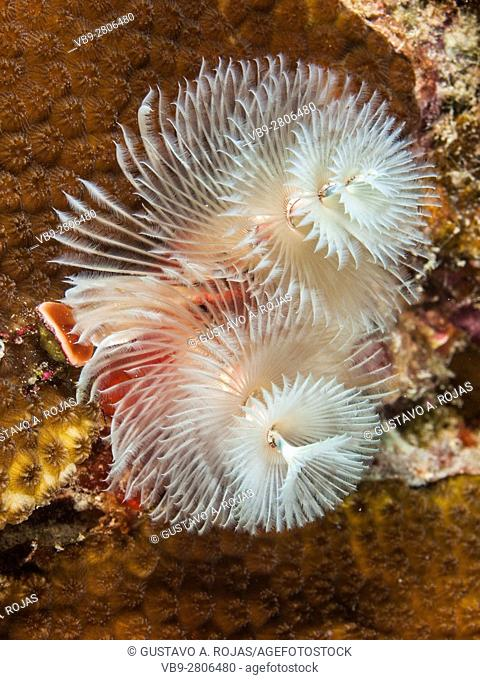 Colorful Christmas Tree Worm, Spirobranchus giganteus, Caribbean Sea, los roques