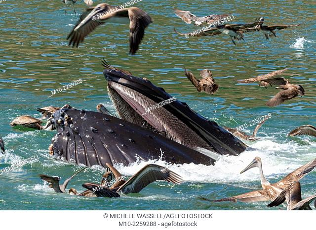 Humpback Whale at the surface surrounded by California Brown Pelicans as its feeding in Avila Beach, California