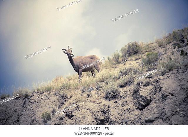 USA, Wyoming, Yellowstone National Park, Ibex, Capra ibex