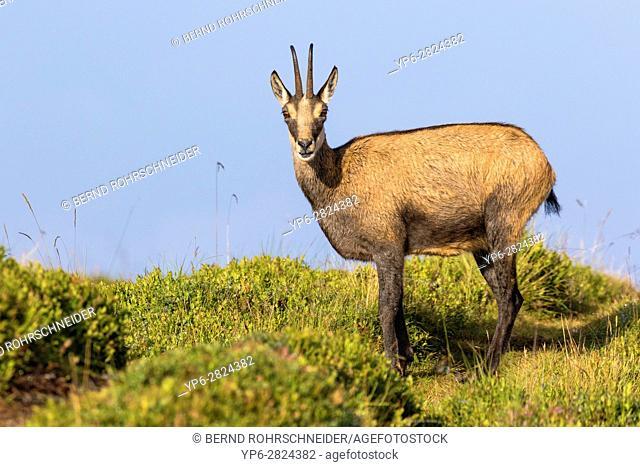 Chamois (Rupicapra rupicapra), adult standing on meadow, Niederhorn, Bernese Oberland, Switzerland