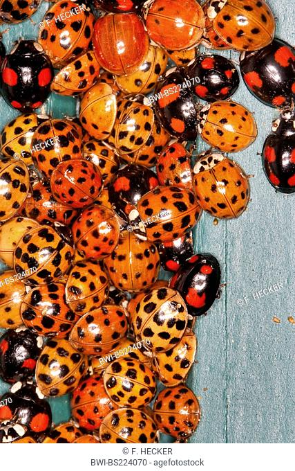 multicoloured Asian beetle (Harmonia axyridis), heaps of invividuals in autumn congregating at a frost free place, Germany