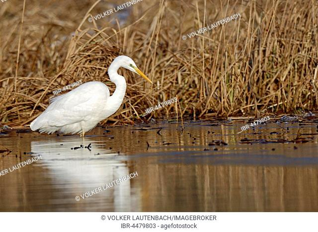 Great Egret (Ardea alba) standing in water, searching for food, Middle Elbe Biosphere Reserve, Saxony-Anhalt, Germany