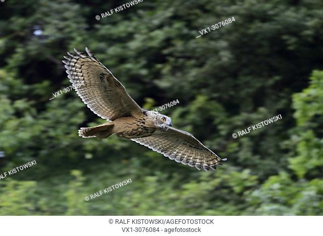 Wild young Eagle Owl ( Bubo bubo ) flying high above my head, dynamic panning shot, wildlife, Europe