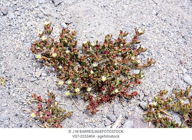 Slenderleaf iceplant (Mesembryanthemum nodiflorum) is a suculent plant native to eastern Mediterranean Basin, southeastern Spain and South Africa but...