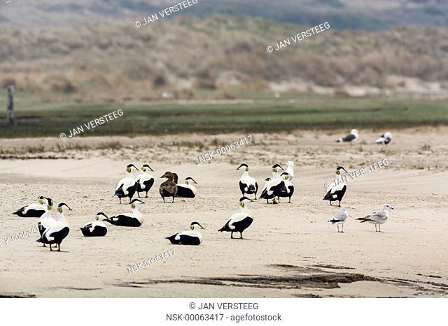 Group of male Common Eider (Somateria mollissima) perched on a beach with dunes in the background, the Netherlands, Noord-Holland, De Slufter