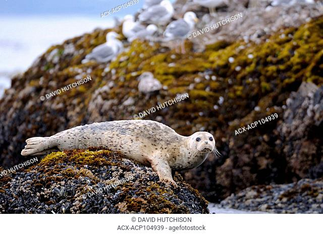 Harbour seal taken 3km off the coast of Ucluelet, Vancouver Island, BC, Canada
