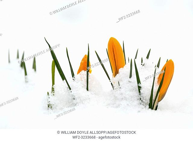 Crocus flowers peep through snow in Leicestershire caused by The Beast from the East on 28th February 2018
