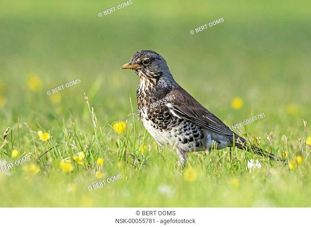 Fieldfare (Turdus pilaris) in grassland with white clover (Trifolium repens) and Buttercup (Ranunculus sp.), Norway, Buskerud, Royse