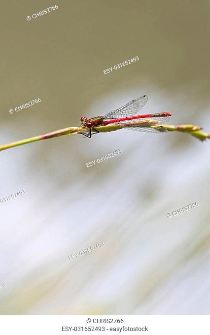 Red Damselfly resting on a grass stem closeup