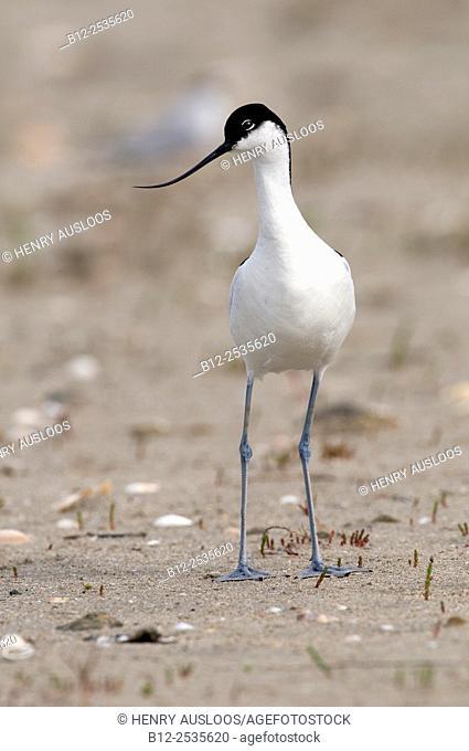 Pied Avocet (Recurvirostra avosetta), France