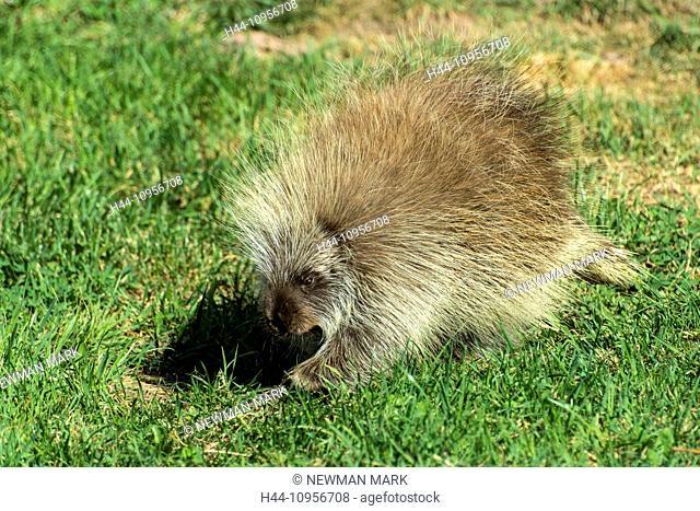 porcupine, erethizon dorsatum, animal, USA, United States, America