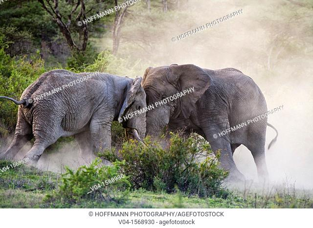 Two elephant bulls (Loxodonta africana) in musth fighting, Serengeti National Park, Tanzania, Africa