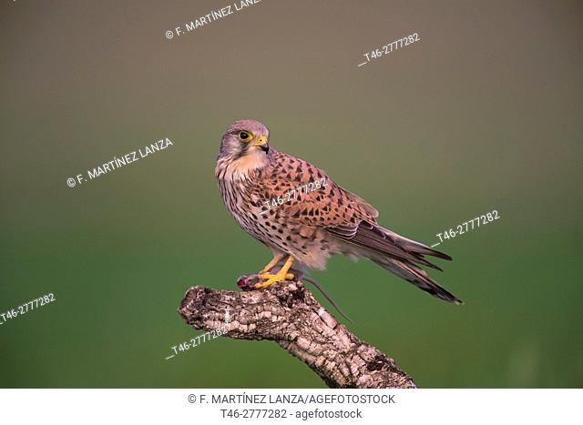 kestrel (Falco tinnunculus). Photographed in Toledo