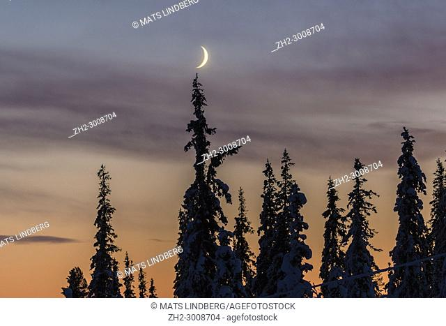 Crescent moon over forest in winter time with snowy trees at sunset, Gällivare, Swedish Lapland