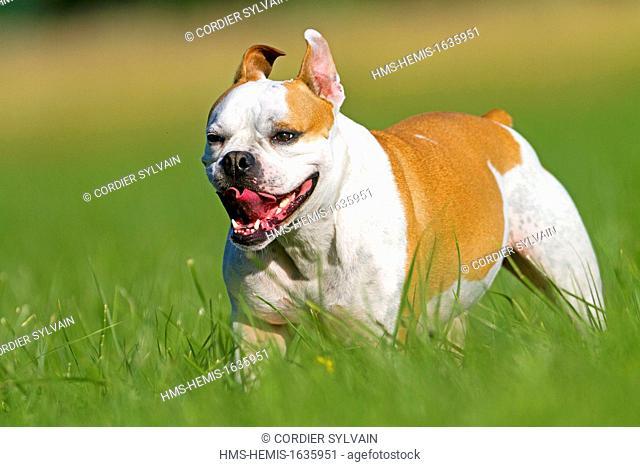 France, Bas Rhin, Obernai, English Bulldog