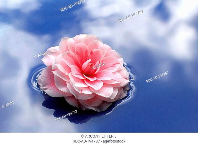 Camellia 'Prof. F. Parlatore', blossom on water, Camellia japonica, Theaceae